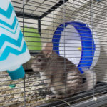 Jeremy-Edwards-Chinchilla-041320: Here's Jeremy Edwards' Chinchilla.. Well shes not a dog, shes my Chinchilla But I get to spend more time with her now since I am home for a good few months and shes great company around the house.
