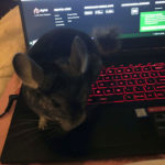 Glenease-Ballinger-Fergus: Fergus is a Chinchilla. I have several pets but this is my newest baby helping me work from home.  He might be a better typist than me!