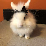 Joelle-Henson-Jasper: Jasper is a Baby Lionhead bunny! He loves hopping and watch Game of Thrones with us. And told he loved chewing up our internet cable so we have no internet or TV til Tuesday ! Gotta love baby bunnies