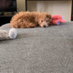 Lydia-Tatman-Teddy: I'm a teacher and was feeling pretty lonely living alone during this quarantine time! I adopted Teddy and he has been the best company around. He loves barking at electrical outlets and the remote control. He's been a blessing and I'm so thankful for him!