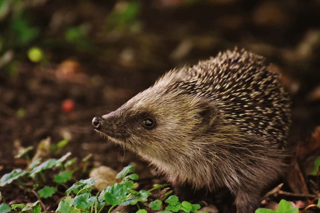 CDC: Hedgehogs Might Be Linked To Salmonella Outbreak