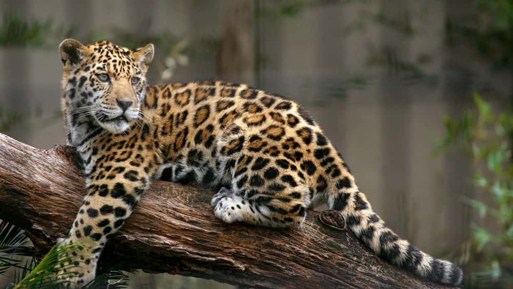 A Jaguar Escaped From Its Habitat At The Audubon Zoo In New Orleans,  Causing The Death Of Eight Animals. The Animal Had Killed Four Alpacas, One  Emu, ...