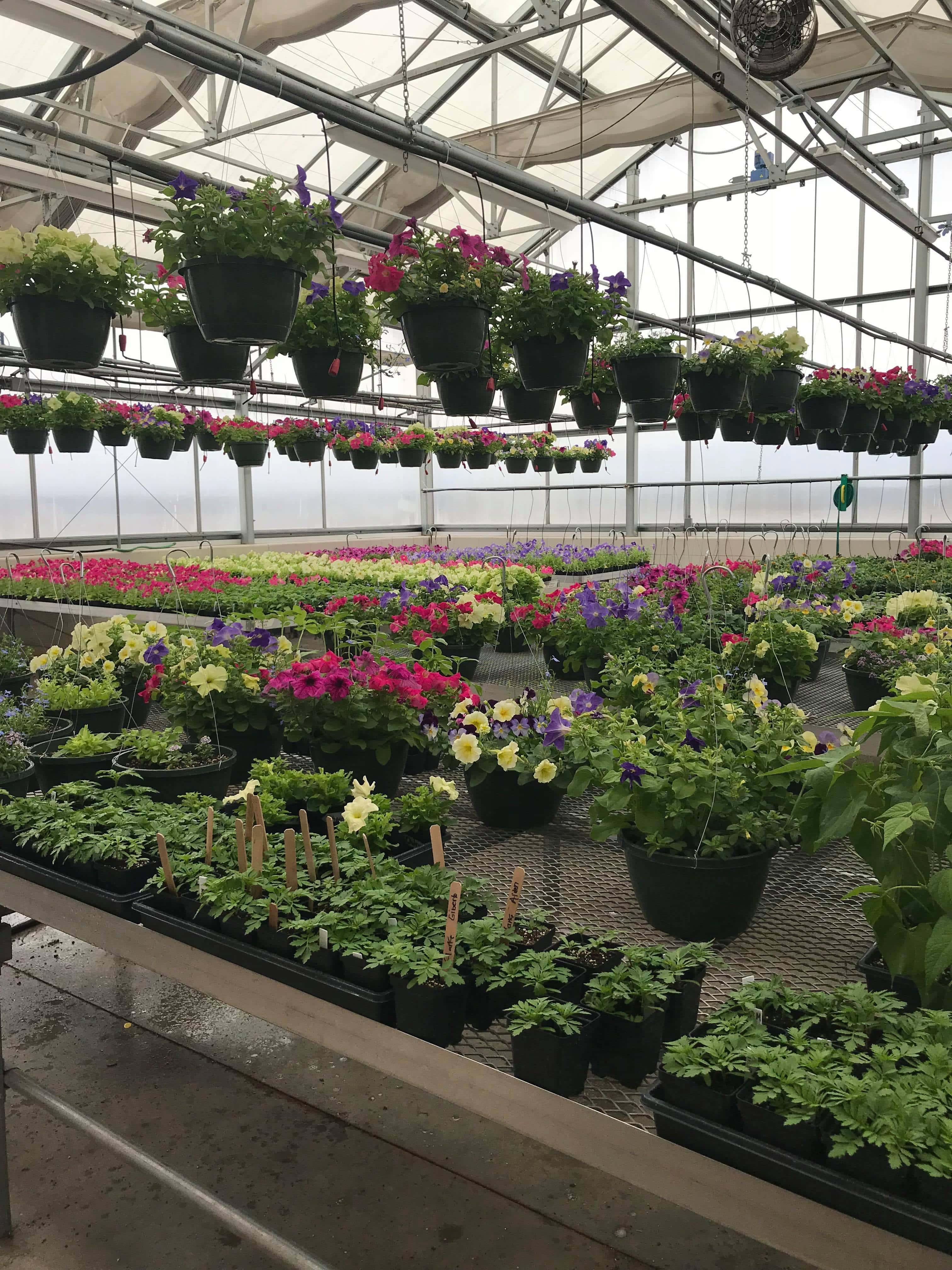 Clinton FFA Plant Sale | WJVL on green lavender, green gardening, green butternut squash, green beets, green bonsai, green tulips, green nature, green shrubs, green bushes, green perennial, green garden design, green flowers,