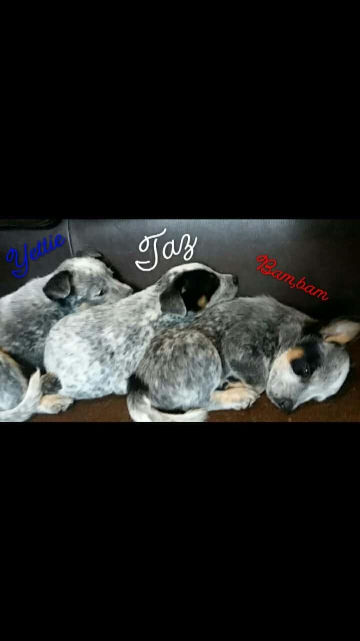 Swap Shop Items Wkyk Wtoe 2003 Duramax Fuel Filter Housing For Sale Texas Heeler Puppies