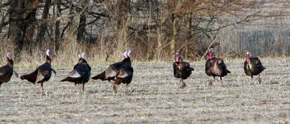 Desoto Wildlife Refuge To Open For Archery Turkey Hunting Kbur