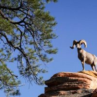 Hunting Guide Illegally Kills Desert Bighorn Sheep in Utah
