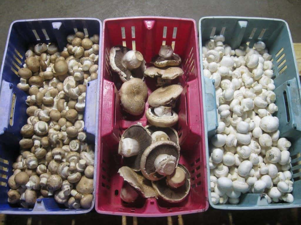 Mushrooms Wisconsin Style … | Farm Report