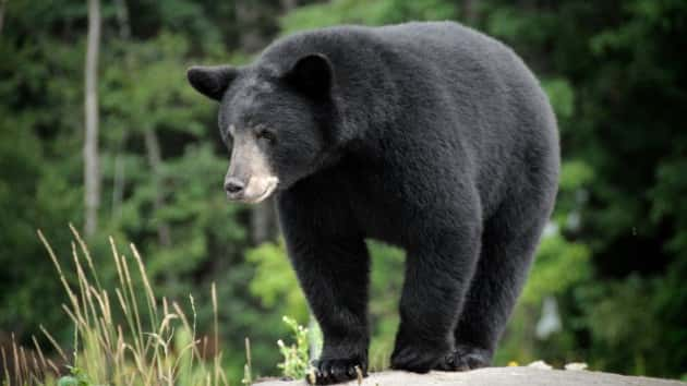 Bear Kills Minnesota Woman While She's Searching Woods For