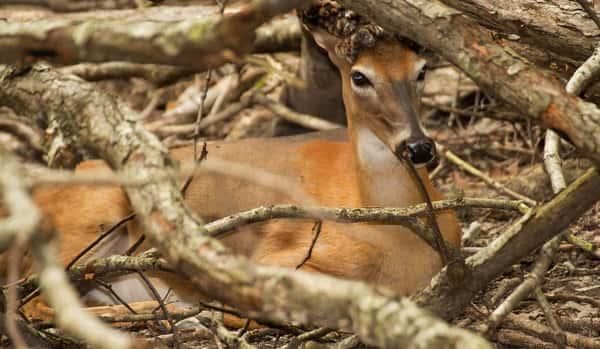 Kozminski Revitalizes Quality Deer Managment Moody On