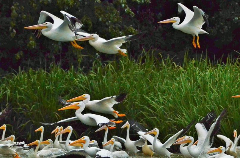 Pelican Festival Begins Friday At Reelfoot Lake | WENK-WTPR | KFKQ