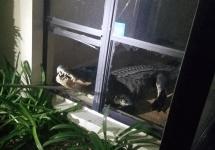 Alligator breaks through window