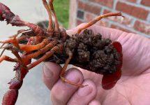 crawfish babies