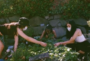 Three young woman are crouched around a garden bed as the tend to the plants.