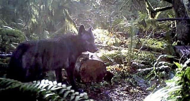 Hostility and threats force WDFW to cancel public wolf