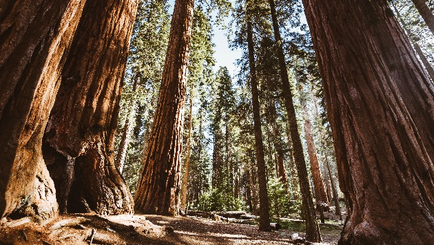 The fight to preserve California's mighty sequoia trees as fire seasons, climate change worsen