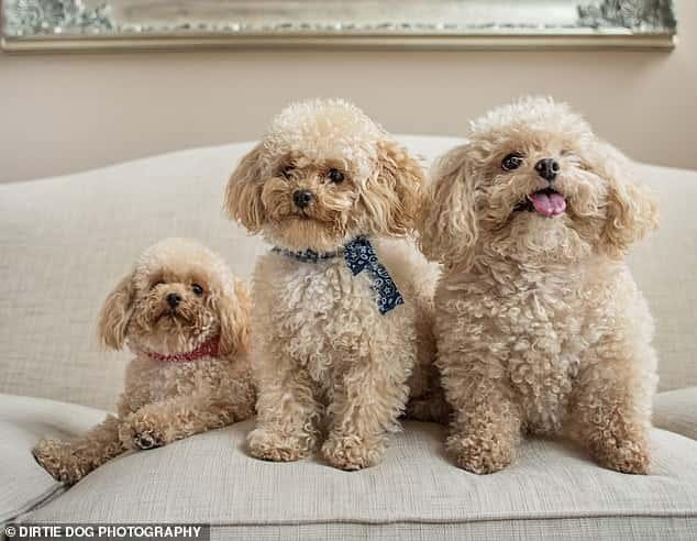 3 white poodles