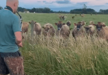 man playing saxophone to cows in field