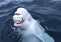 beluga whale in water with rugby ball in mouth