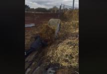 woman falls face first into wheelbarrow of manure