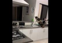 cat jumps backwards off counter