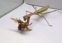 praying mantis eats a murder hornet
